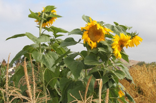 Community Garden Sunflowers